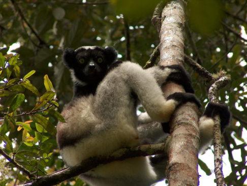 Madagascar lemur Indri Indri Perinet Andasibe National Park
