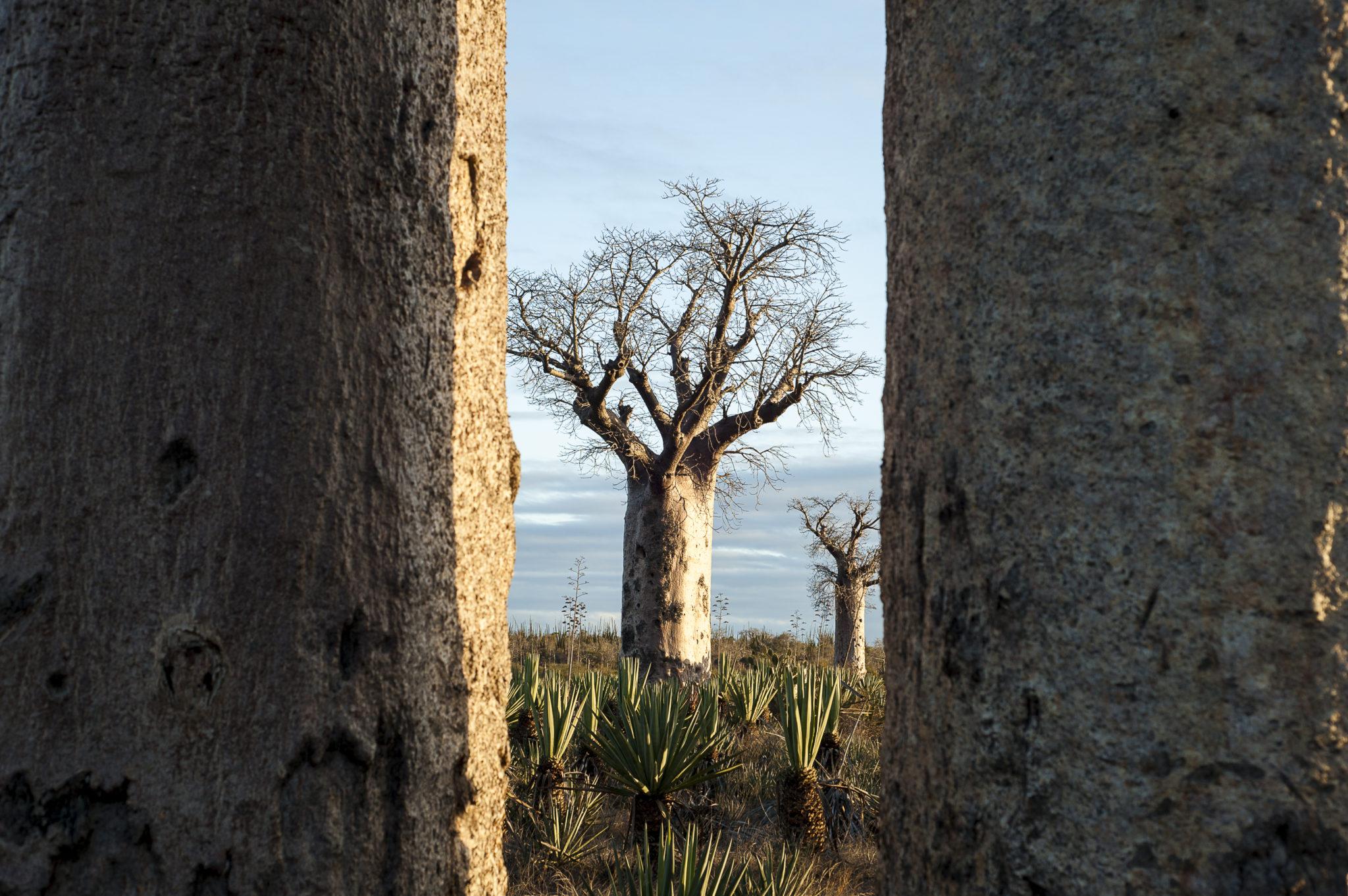 Madagascar Morondava Baobabs