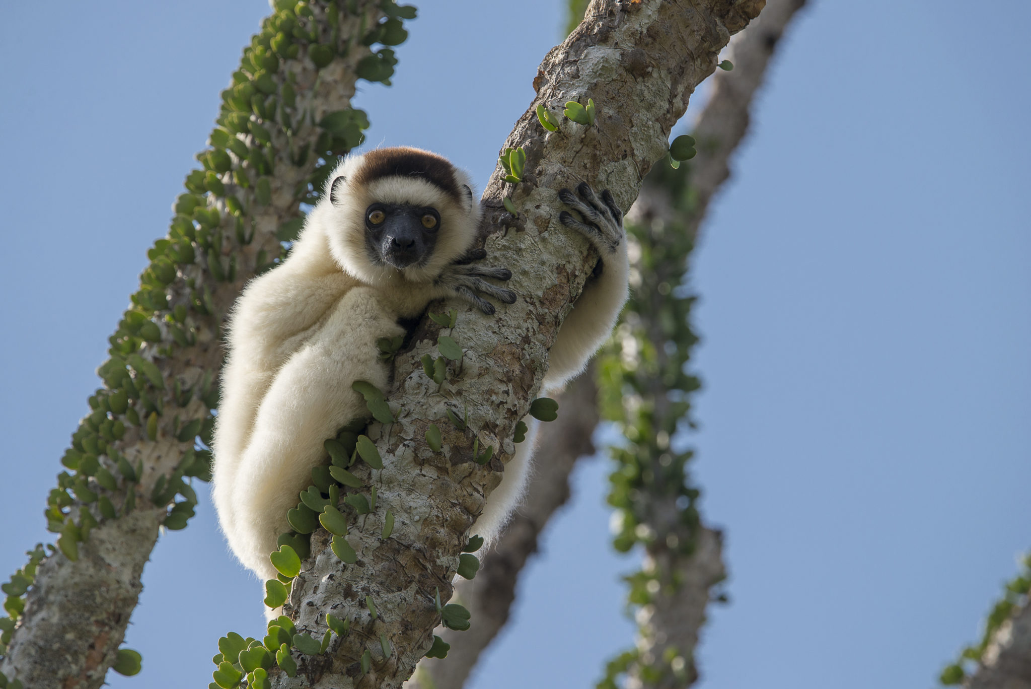 Madagascar Spiny Forests and Sifaka.